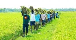 ময়মনসিংহে কৃষকের ধান কেটে দিলো ছাত্রলীগ