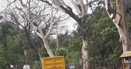 কালিগঞ্জ সড়কে প্রাণহীন বৃক্ষ, কুলিয়া, পারুলিয়া এলাকা বিপদজনক পরিস