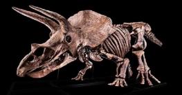 নিলামে বিক্রি হচ্ছে বিশ্বের সবচেয়ে বড় ডাইনোসরের কঙ্কাল